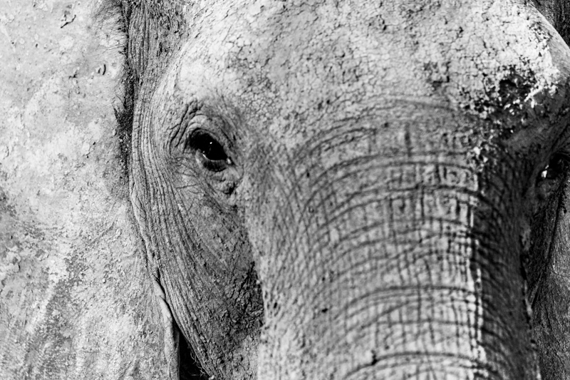 Retrato de elefante no Chobe National Park - Botswana
